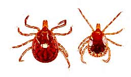 Lone Star Female / Male Tick